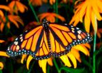 butterfly_monarch_300.jpg
